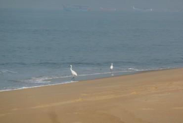 aigrettes sur la plage