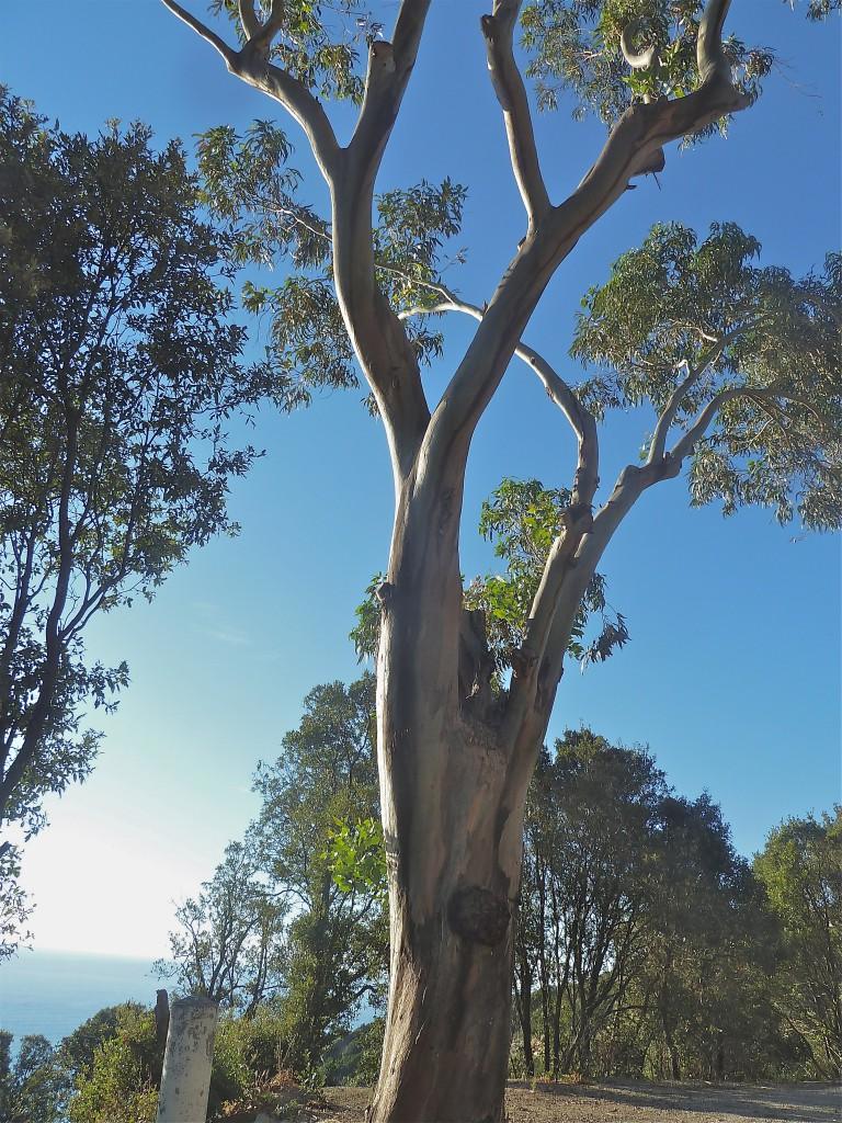 Eucalyptus du Cap