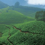 Tea plantation Kerala