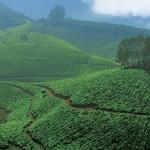 Tea plantation Kerala
