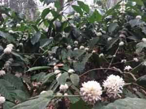 fleur de café